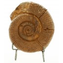Ammonite orthocéras